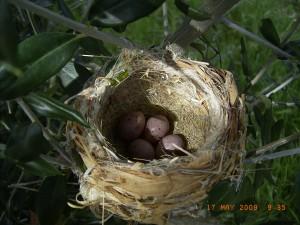 huevos de hortelano