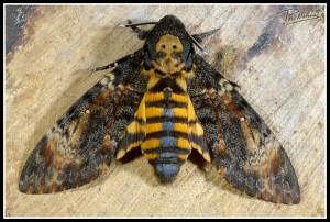 mariposa de la calavera